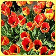 Lively Art - Skagit Valley Tulips 10 by Will Borden