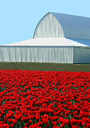 Upbeat Prints - Skagit Valley Tulips 5 Print by Will Borden