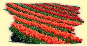 Skagit Digital Art - Skagit Valley Tulips 7 by Will Borden