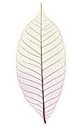 Skeleton Leaf Print by Elena Elisseeva