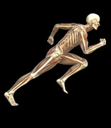 Human Skeleton Art - Skeleton Sprinting by Roger Harris