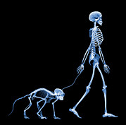 Wildlife Imagery Posters - Skeleton Walking A Marmoset, X-ray Poster by D. Roberts