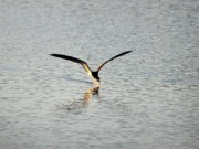 Black Skimmer Prints - Skimmer Skimming Print by Al Powell Photography USA