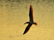Black Skimmer Prints - Skimmer Sunset Print by Al Powell Photography USA