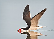 Black Skimmer Prints - Skimming Away Print by Susan Candelario