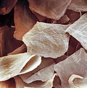 Skin Cells, Sem Print by