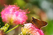 Mimosa Flowers Posters - Skipper Butterfly on Mimosa Flower Poster by Jason Politte