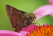 Insect Macro - Skipper Moth by Juergen Roth
