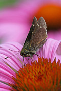 Fotografie Prints - Skipper Moth Macro Photography Print by Juergen Roth