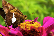Brilliant Color Prints - Skipper on Zinnia Print by Thomas R Fletcher