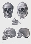 Skull Photos - Skull Anatomy by Sheila Terry