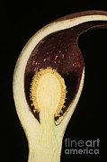 Smelly Posters - Skunk Cabbage Flower Cross-section Poster by Ted Kinsman