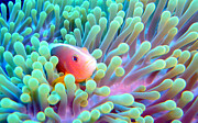 Anemone Posters - Skunk Clownfish And Sea Anemone Poster by Takau99