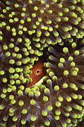 Hiding Prints - Skunk Clownfish Hiding In Anemone Print by Beverly Factor