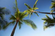 Lanai And Molokai And Other Hawaiian Islands - Sky and Palm Trees by Jenna Szerlag