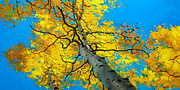 Autumn Foliage Painting Prints - Sky High 3 Print by Gary Kim