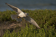 Gyrfalcon  Metal Prints - Sky Hunter Metal Print by Wade Aiken