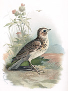 Bird Drawing Posters - Skylark, Historical Artwork Poster by Sheila Terry