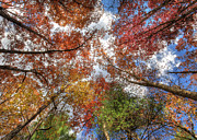 Fall Leaves Photos - Skyward by Lori Deiter