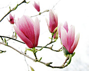 Tulip Tree Prints - Skyward Magnolias Print by Andee Photography