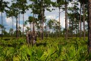 Saw Palmetto Photos - Slash Pine and Saw Palmetto by Steven Scott