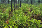 Palmetto Plants Photos - Slash Pines And Saw Palmettos by Klaus Nigge