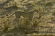 Cheetah Photos - Sleek and Spotted by Michele Burgess