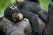 West Africa Framed Prints - Sleeping Baby Chimpanzee Framed Print by Cyril Ruoso