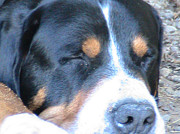 Greater Swiss Mountain Dog Prints - Sleeping Beast Print by Rachel Snell