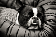 Sleeping Dog Photo Posters - Sleeping Beauty Poster by Justin Albrecht
