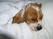 Basset Hound Photos - Sleeping Beauty by Sandi Floyd