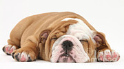 Sleeping Dog Prints - Sleeping Bulldog Pup Print by Mark Taylor
