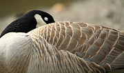 Canadian Goose Prints - Sleeping Canadian goose Print by Pierre Leclerc