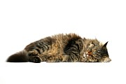 Domestic Animals Posters - Sleeping Cat Poster by © Nico Piotto
