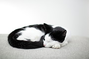 Cat Eyes Prints - Sleeping Cat Print by Marcel ter Bekke
