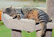 Sleeping Cat Print by Susan Leggett