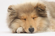Sleeping Dog Framed Prints - Sleeping Collie Framed Print by Mark Taylor