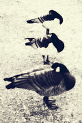 Trio Prints - Sleeping Ducks Print by Joana Kruse