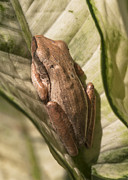 Hiding Metal Prints - Sleeping Frog Metal Print by Zoe Ferrie