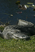 American Alligator Prints - Sleeping Giant Print by Cindi Ressler