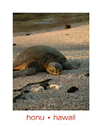 Green Sea Turtle Photos - Sleeping Green Sea Turtle by Jessica Westermeyer