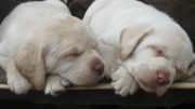 Perros Photos - Sleeping In Couple by Animal Fotos