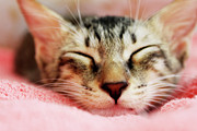 Blanket Photo Framed Prints - Sleeping Kitten Framed Print by Joey Lim