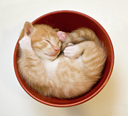 Cute Kitten Prints - Sleeping Kittens In Bowl Print by Sanna Pudas