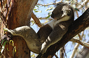 Koala Metal Prints - Sleeping Koala Metal Print by Bob Christopher