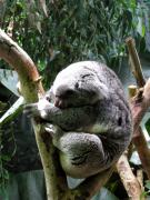 Koala Bear Art - Sleeping Koala by George Jones