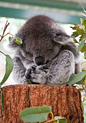 Koala Posters - Sleeping Koala Poster by Gordon Pressley