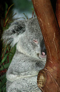 Sleeping Koala Print by Mariola Bitner