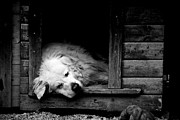 Doghouse Framed Prints - Sleeping Framed Print by Laura Melis