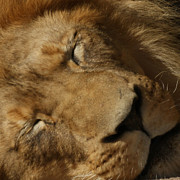 King Of The Jungle Prints - Sleeping Lion Print by Ernie Echols
